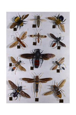 Collection of Carpenter Bees, Wasps, Flies and Saw Flies