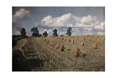 A View of a Wheat Field with Stacked Sheaves Near Oxford