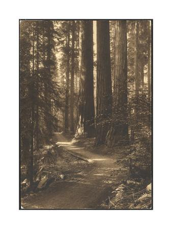 A Path Winds Through the Magnificent Sunlit Giant Forest