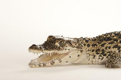 A Critically Endangered Cuban Crocodile, Crocodylus Rhombifer
