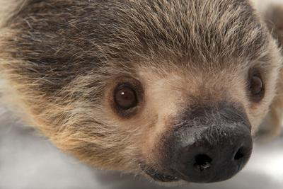 A Two-Toed Sloth, Choloepus Didactylus, at the Lincoln Children's Zoo
