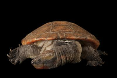 A New Guinea Red-Bellied Short-Necked Turtle, Emydura Subglobosa, at the Lincoln Children's Zoo