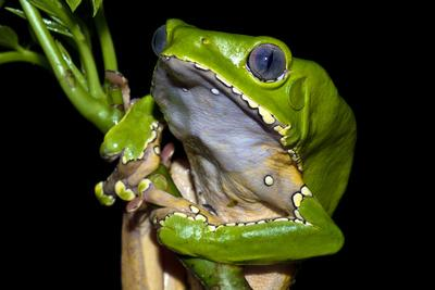 A Bright Green Giant Leaf Frog Holding onto a Rainforest Plant Stem Using its Long, Wide Toe Pads