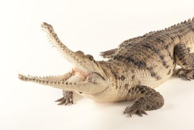 An Australian Freshwater Crocodile, Crocodylus Johnsoni, at the Omaha Henry Doorly Zoo
