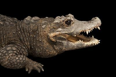 A Federally Endangered West African Dwarf Crocodile at the Lincoln Children's Zoo