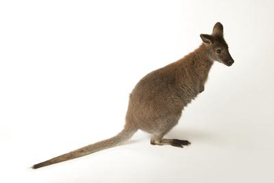 A Red-Necked Wallaby, Macropus Rufogriseus, at the Lincoln Children's Zoo