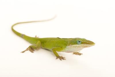 A Carolina Anole, also known as a Green Anole, Anolis Carolinensis