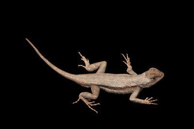A Florida Scrub Lizard, Sceloporus Woodi