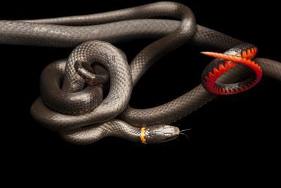 Southern Ring-Necked Snakes, Diadophis Punctatus Punctatus