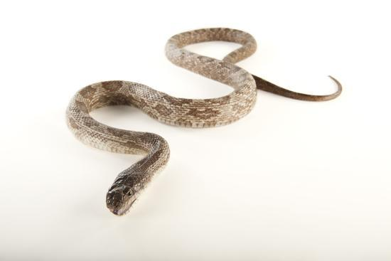 Texas Rat Snake, Elaphe Obsoleta Lindheimeri, at the Omaha Zoo