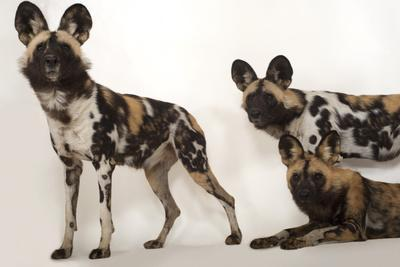 African Wild Dogs, Lycaon Pictus, at the Omaha Zoo