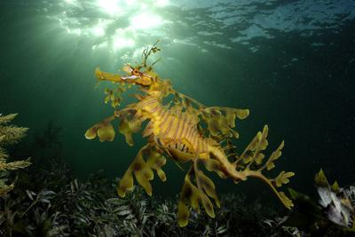 Portrait of a Leafy Seadragon, Phycodurus Eques, Among Feathery Seaweeds