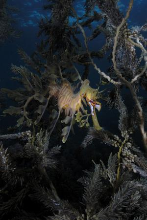 Portrait of a Well-Camouflaged Leafy Seadragon, Phycodurus Eques, Among Seaweeds