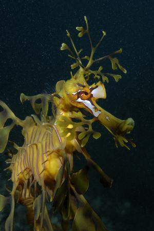 Close Up Portrait of a Leafy Seadragon, Phycodurus Eques