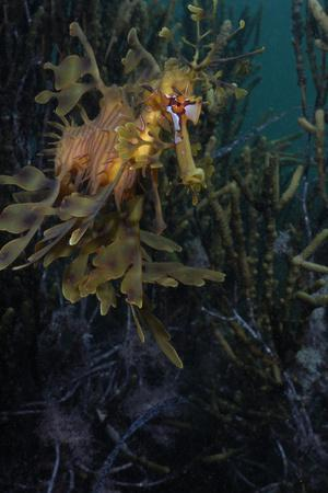 Close Up Portrait of a Leafy Seadragon, Phycodurus Eques, Camouflaged Among Seaweeds