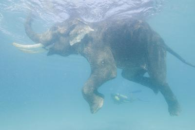 Rajan, the Elephant, Swims Near a Diver in the Andaman Islands, India