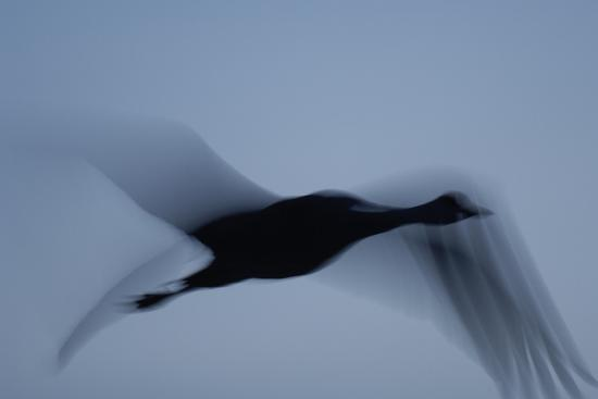 It Was Twilight And Sandhill Cranes >> A Silhouette Of A Sandhill Crane In Flight At Twilight
