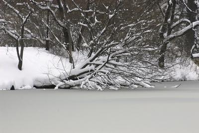 Snow Laden Trees over a Frozen Pond
