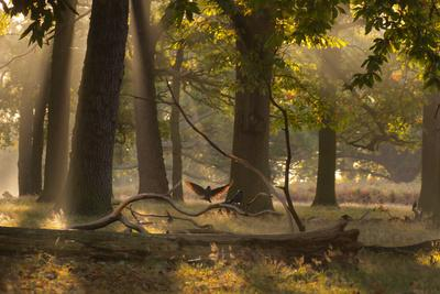 A Western Jackdaw, Corvus Monedula, Lands in Misty Forest in Autumn