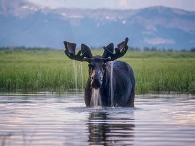 Water Pours from the Antlers of a Bull Moose Lifting His Head from Beaverdam Creek