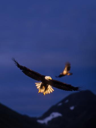 Bald Eagles Were Lit by Gold Sunlight at Sunset