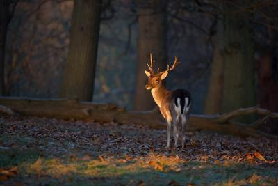 A Young Fallow Deer, Illuminated by the Early Morning Orange Sunrise, Looks Back