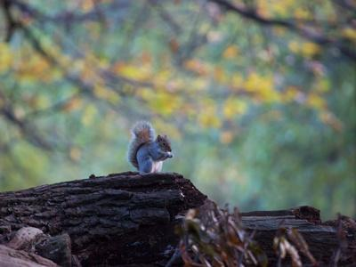 A Gray Squirrel, Sciurus Carolinensis, Sits on a Log Eating Nuts in Autumn