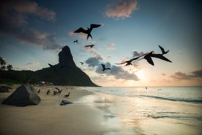 Frigatebirds, Fregata Magnificens, on Praia Da Conceicao