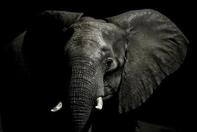 An Alert African Elephant with its Ears Spread