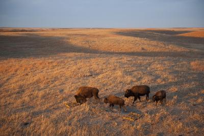 A Herd of Bison Roam on a Ranch