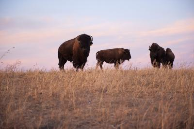 Three Bison Roam on a Ranch