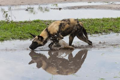 A Painted Wolf, Cape Hunting Dog, or Wild Dog, Lycaon Pictus, Walking in Water