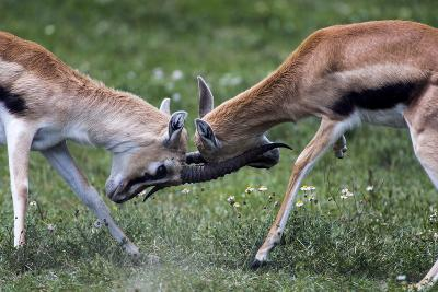 A Pair of Adult Male Thomson's Gazelles Lock Horns and Battle for Supremacy