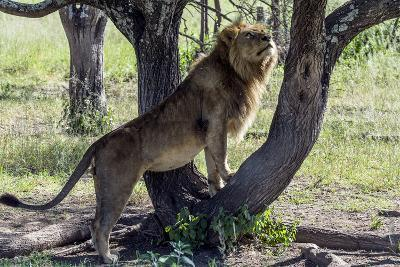 A Male African Lion Watches a Lioness in Estrus Sleeping in a Tree