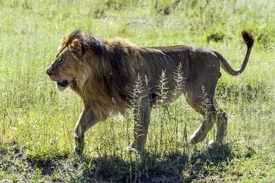 A Male African Lion Runs across the Savannah Plain Following a Lioness Who Is in Estrus