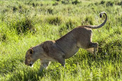 An African Lioness in Estrus Runs Down a Grassy Hill on the Savannah