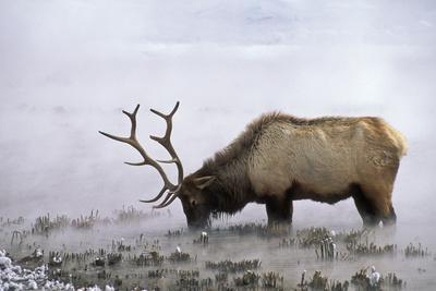 A Hungry Bull Elk Forages in Thermally Heated Water in Late February after a Long Winter