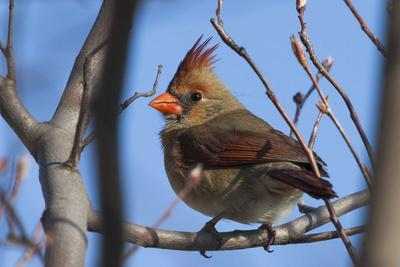 A Female Northern Cardinal, Cardinalis Cardinalis, Perched on a Tree Branch