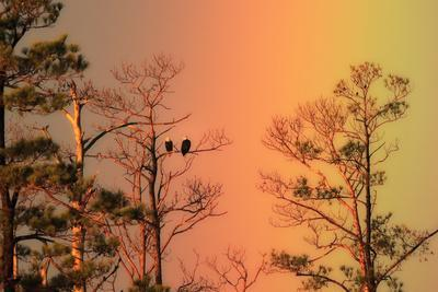 A Pair of Bald Eagles, Haliaeetus Leucocephalus, Illuminated by a Rainbow While Perched in a Tree