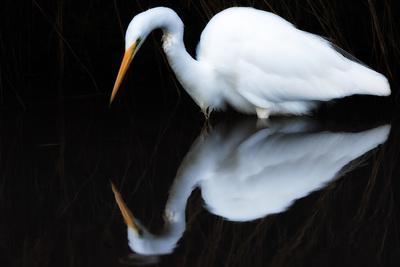 Portrait of a Great Egret, Ardea Alba, Wading in Dark Water