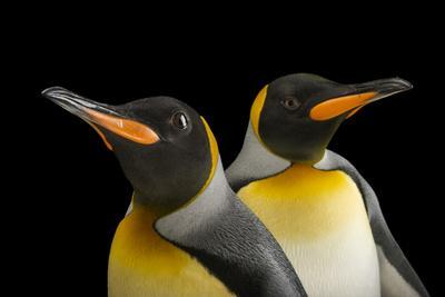 A Pair of South Georgia King Penguins at the Indianapolis Zoo