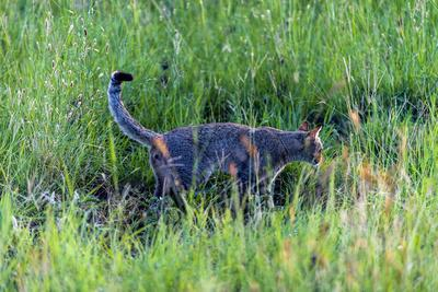 A Diminutive African Wildcat Scenting its Territory with Urine in the Savannah Plains at Sunset