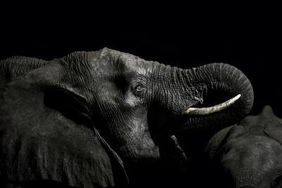 An African Elephant Emerges from the Dry Season Darkness to Drink at a Waterhole
