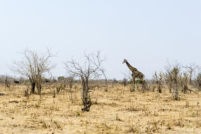 A Southern Reticulated Giraffe in a Barren Wasteland of Smashed Trees During the Dry Season