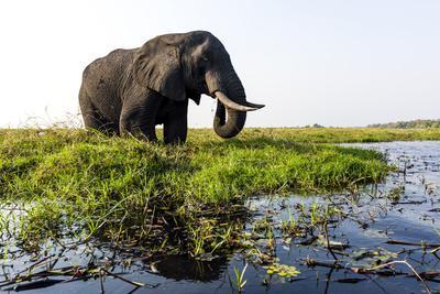 A Large African Elephant Feeding on Lush Aquatic Plants by a Wetland Island