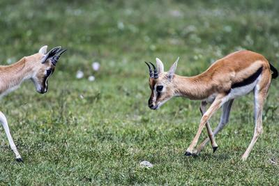 A Pair of Sub-Adult Male Thomson's Gazelles Practice Battling for Supremacy