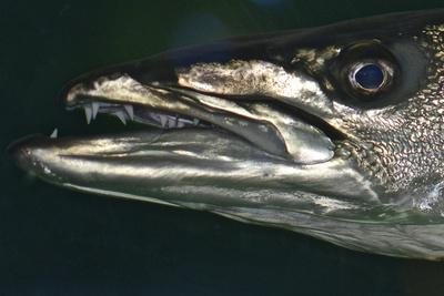 Detail of a Barracuda's Mouth and Eye