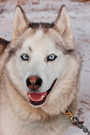 A Husky Sled Dog with Blue Eyes