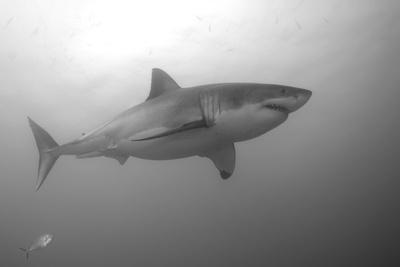 Portrait of a Male Great White Shark, Carcharodon Carcharias, Swimming