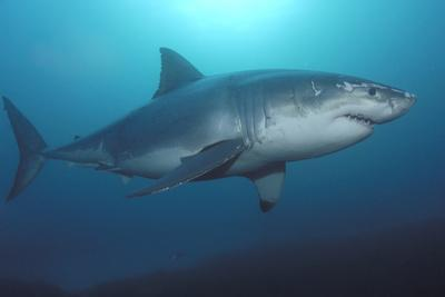 Portrait of a Scarred Male Great White Shark, Carcharodon Carcharias, Swimming